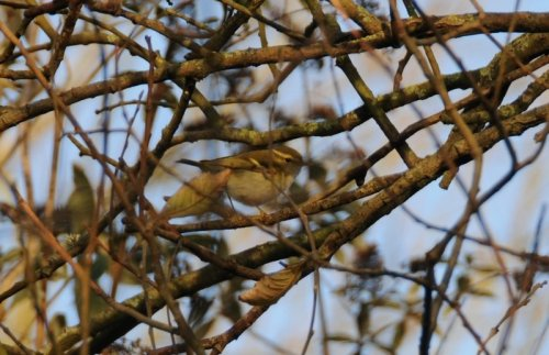 Yellow-browed Warbler near the Plym Estuary, Plymouth. 020115.