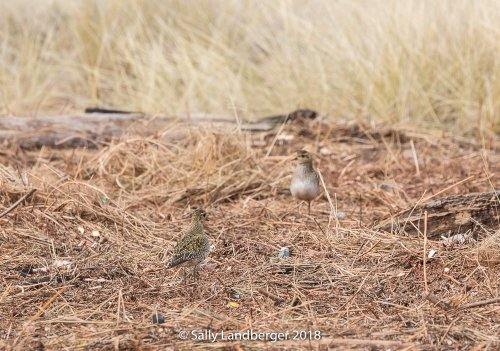 Two Golden Plovers at Warren Point