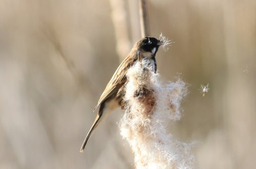 Reed Bunting feeding on Reedmace