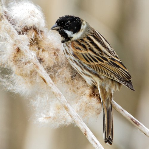 Reed Bunting destroying another reed head