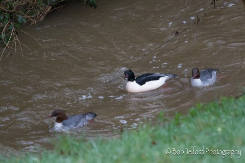 Goosander on Bidwell Brook