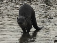 Otter on the mud.