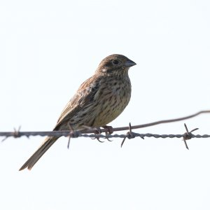 Cirl Bunting (First winter)