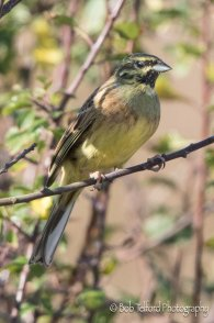 Male Cirl Bunting at Prawle