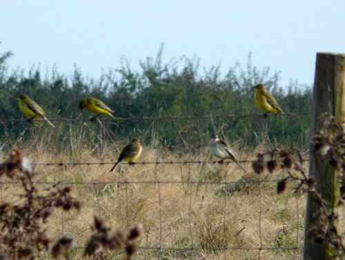 grey variant yellow wag with yellow wags