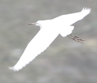 Egret feet in flight