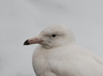 Glaucous Gull Pat Mayer, Prawle Feb 2013