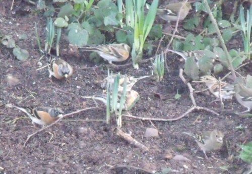 Brambling/Chaffinch flock Tiverton 24.01.2013