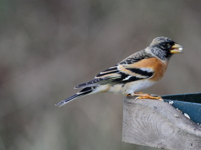 Male Brambling by Chris Townend