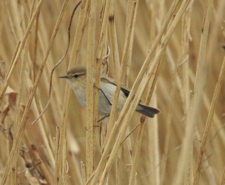 Siberian Chiffchaff Broadsands 24 Jan 2020 ML