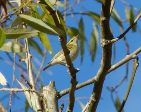 Yellow-browed Warbler clennon Vly 9 Dec ML2