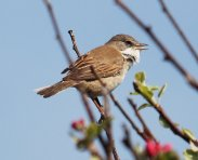 One of many Whitethroats seen today