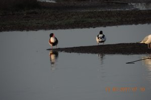 Pair of Shelduck claiming the scrape as their feeding area.