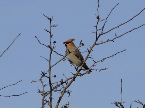 Waxwing, A38 near Heathfield