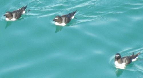 Three razorbills