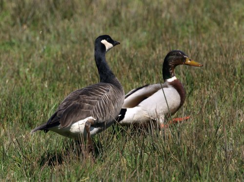 Ridgeway's Cackling Goose: not much bigger than a Mallard!