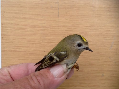 1st.Yr.m. 'Continental' Goldcrest.