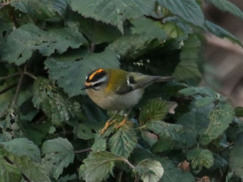 Firecrest, male