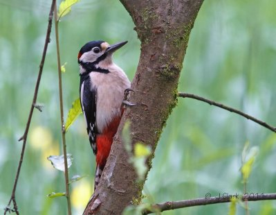 Gt Spotted Woodpecker John Clark