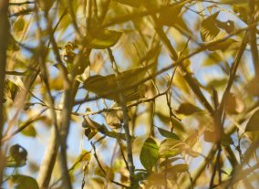 Yellow-browed Warbler Clennon Lakes 181018ML
