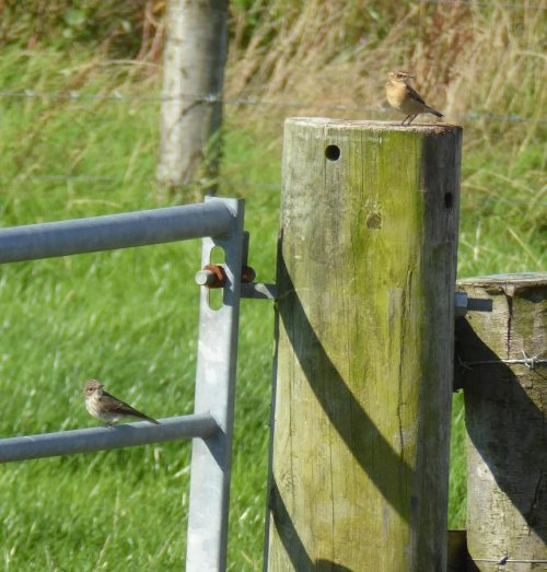 Spotfly and Whinchat