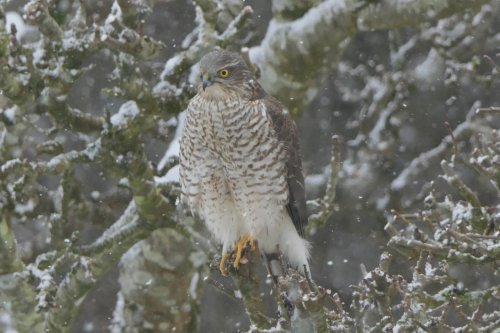 Sparrowhawk in snow