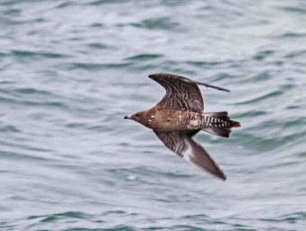 Long-tailed Skua Mount Batten Plymouth 2 Oct 2013 Graham Watson