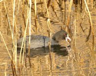 Coot with a large water snail