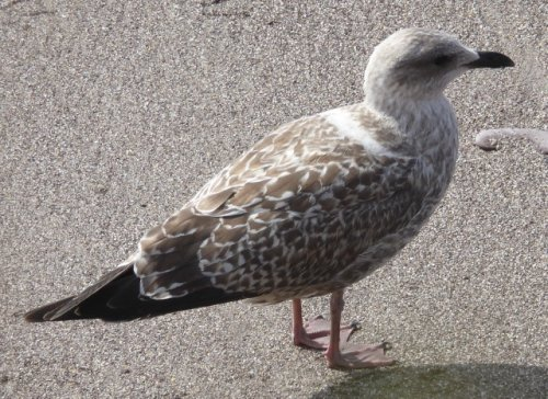 Yellow legged gull?