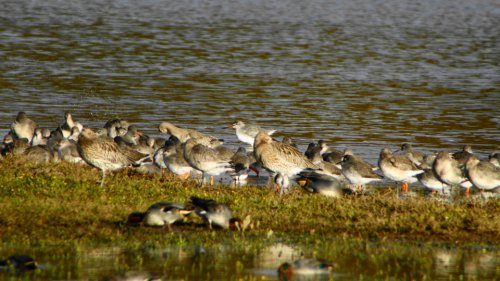 Spotted Redshank (top centre)