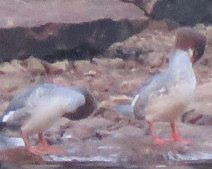 Goosanders at Avon Dam 18 Sep @ 0730 h