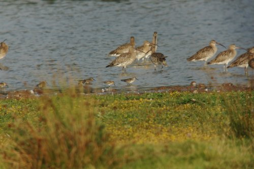 Curlew Sandpiper (right of Dunlin)