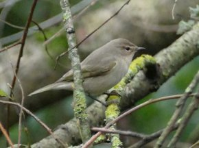 Siberian Chiffchaff Clennon Valley 13 Dec 2015 ML