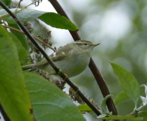 Yellow-browed Warbler Berry Head 10 Nov 2016 ML