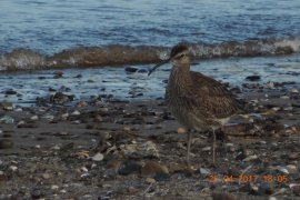 At least 18 Whimbrel present.