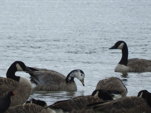 Bar-headed Goose juv