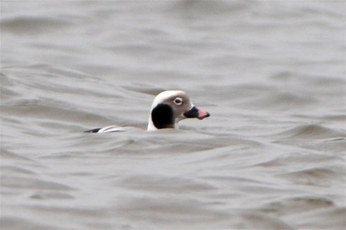 Long-tailed Duck in Spring plumage !!!