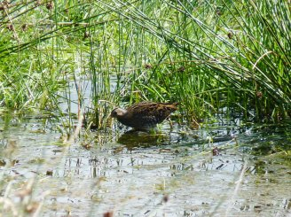 Spotted Crake © Steve Waite, 18/9/2013, Colyford Common, found by Ian Hunt