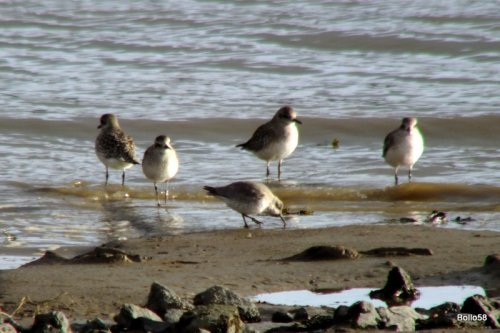 Grey Plovers with a Sanderling ?
