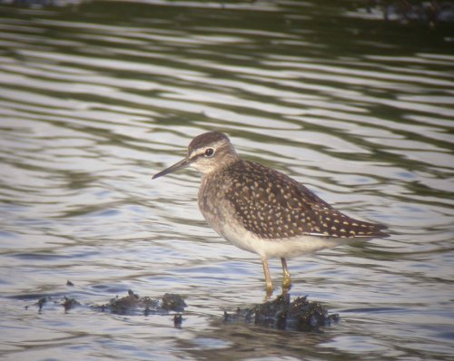 Wood Sandpiper Black Hole Marsh