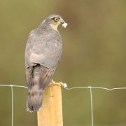 Sparrowhawk ~ female