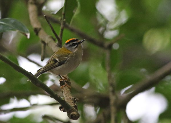 Common Firecrest by Chris Townend