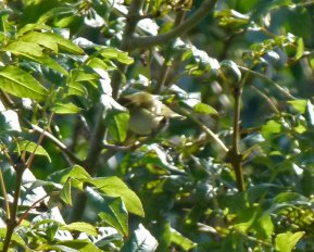 Yellow-browed Warbler Berry Hd 5 Oct 13 ML