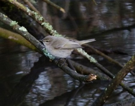 Siberian Chiffchaff Clennon Lakes 10 March 2015 ML