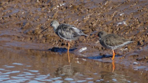 Spotted & Common Redshank together  6-4-2015