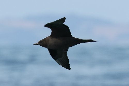 Arctic skua, dark phase adult