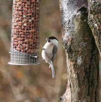 Leusistic Willow Tit