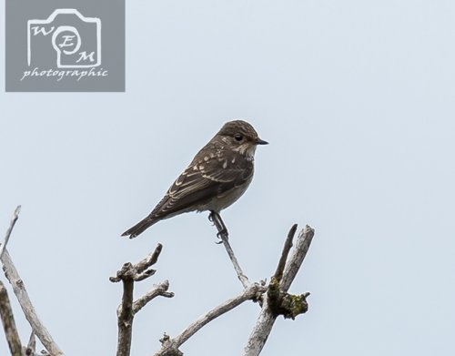 Spotted Flycatcher Dawlish Warren