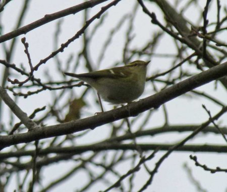 Yellow-browed Warbler Clennon Valley 10 Jan 2014