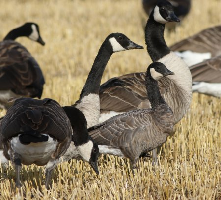 Cackling Goose by Chris Townend